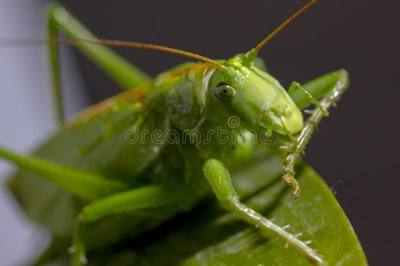 Green grasshopper sits on green plant leaf. Large green grasshopper sitting on a green leaf of the plant, insect, locust, field, lawn, inhabitant, fauna, jump stock image