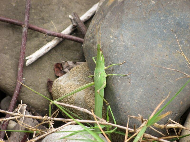 Green grasshopper sits on a stone. stock photos