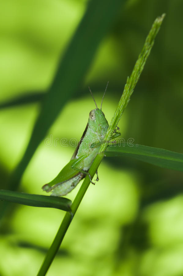 Green grasshopper sitting on agrass - closeup royalty free stock images