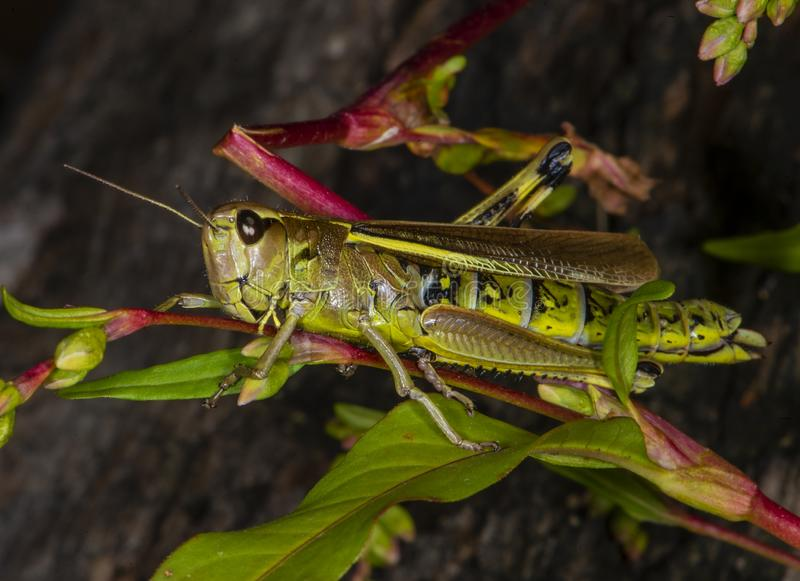 Green grasshopper on a grass stalk in Ukraine forest royalty free stock image