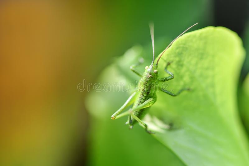 Green grasshopper sitting on a green leaf. Gorizontal photo royalty free stock photo