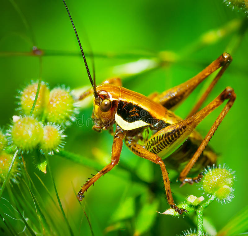 Green grasshopper. Sitting on leaf in the middle of the grass royalty free stock photo