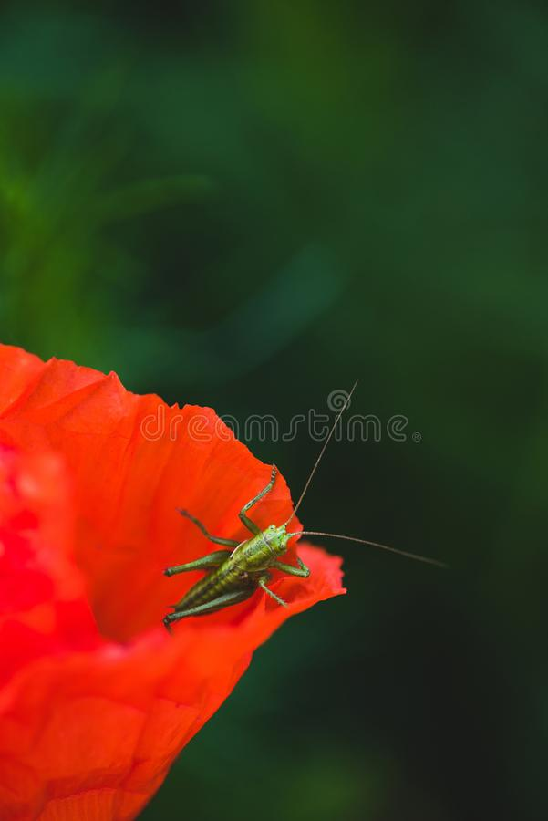 Green grasshopper sitting on red. Poppy flower stock images