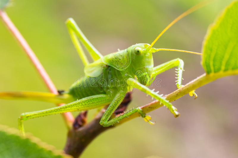 Green grasshopper sitting on tree in the garden royalty free stock images