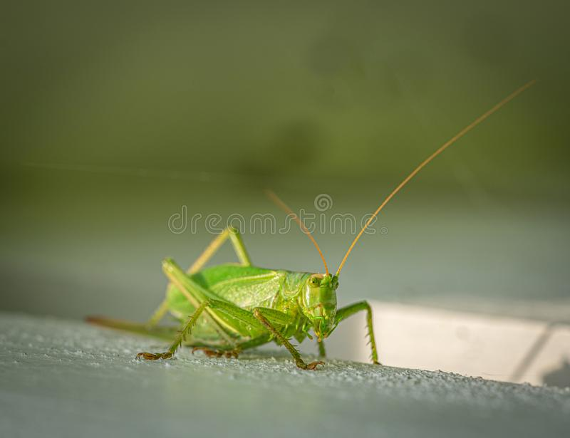 Green grasshopper sitting on a white wooden wall royalty free stock photo