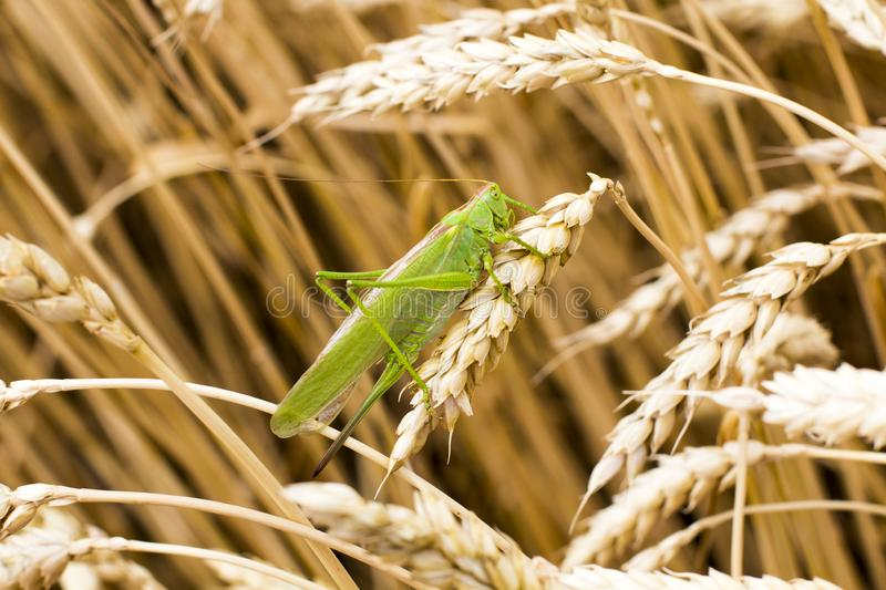 Green grasshopper. On a spike royalty free stock images