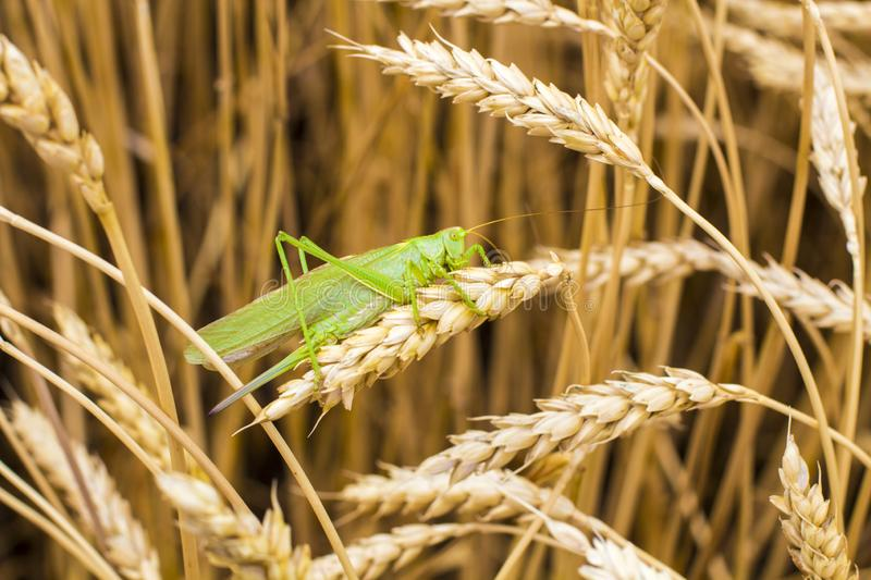 Green grasshopper. On a spike royalty free stock photo
