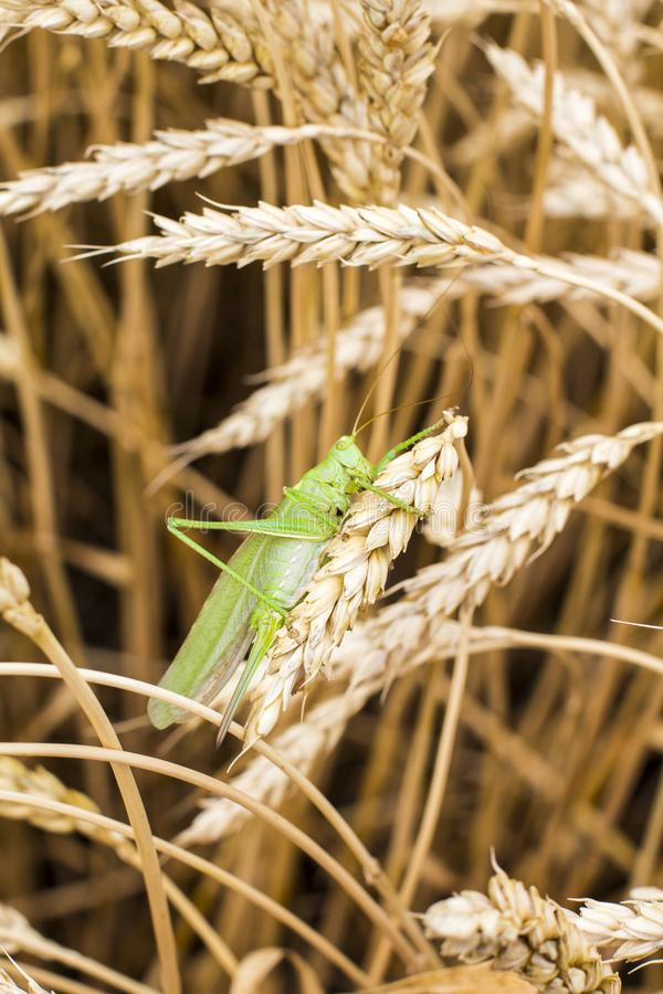 Green grasshopper. On a spike stock images
