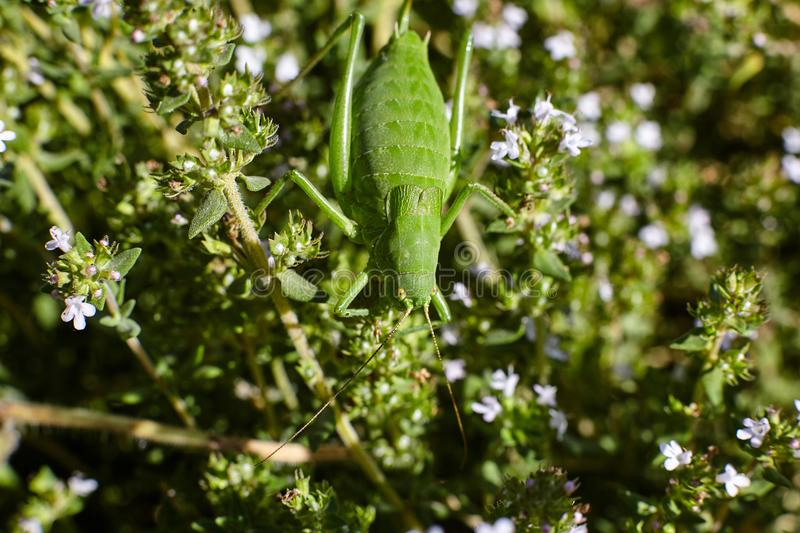 Green grasshopper on thyme flowers. royalty free stock photo