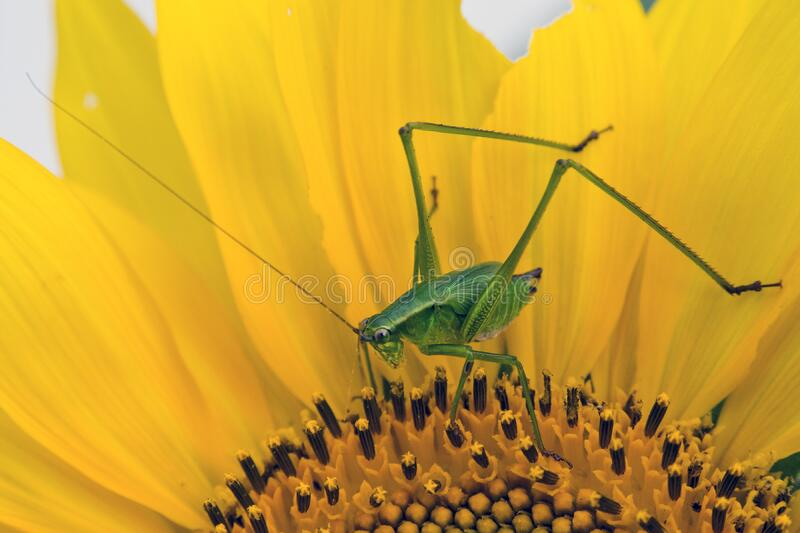 Green Grasshopper on Yellow and Black Flower stock photos