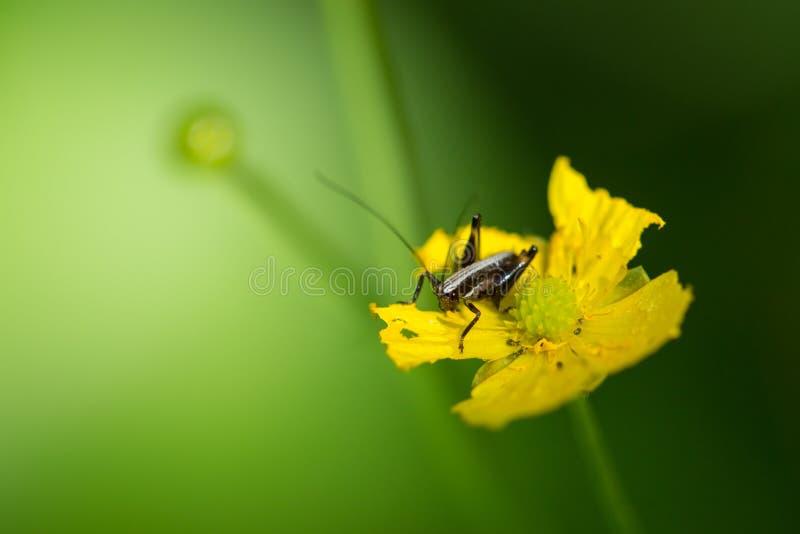 Green grasshopper on yellow flower in forest on sunny day. Black grasshopper on yellow flower in forest on sunny day royalty free stock images