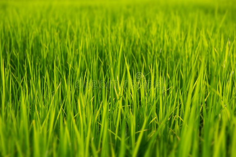 Green grassland with outdoor sun lighting. Green grassland with outdoor sun low and warm lighting time stock photography