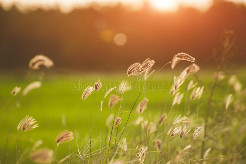 Green grassland with outdoor sun lighting. Green grassland with outdoor sun low and warm lighting time stock photo