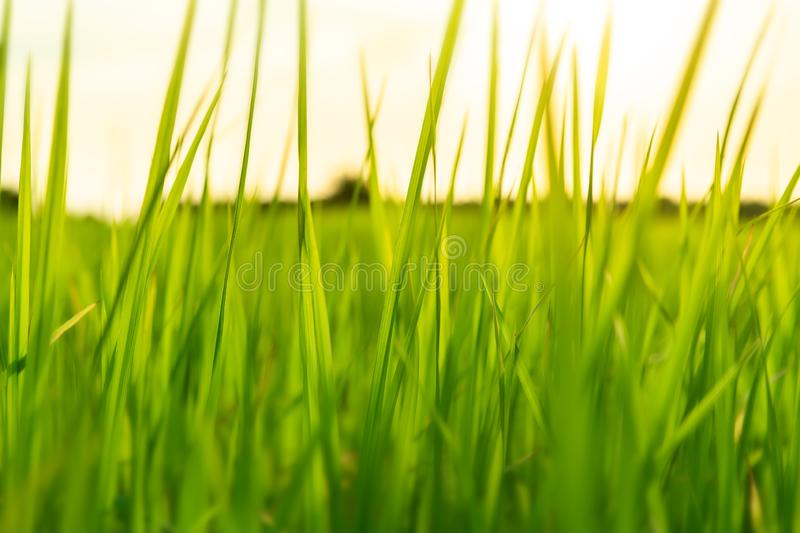 Green grassland with outdoor sun lighting. Green grassland with outdoor sun low and warm lighting time stock images