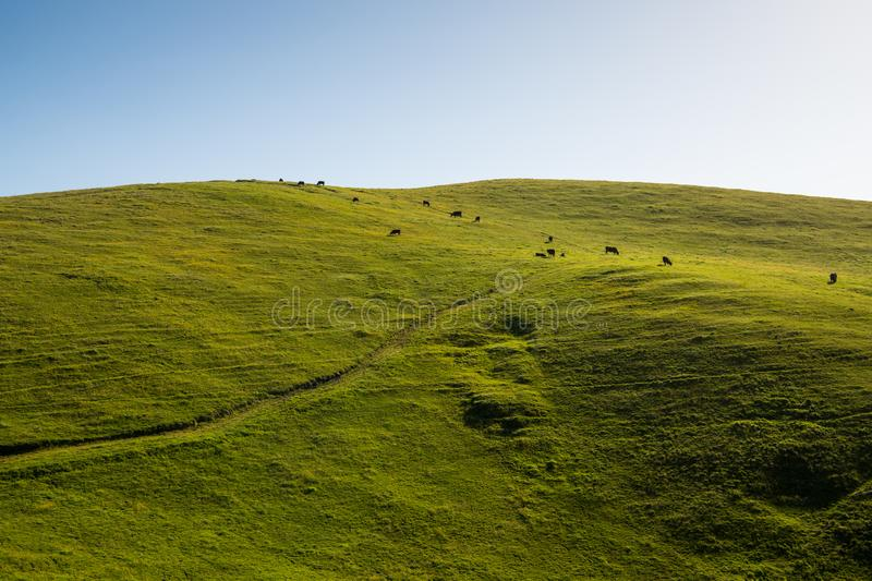 A green, grassy hill terraced by cattle grazing on a ranch with a road along the hillside. Scene of a herd of cattle grazing on a lush green hillside on stock photo