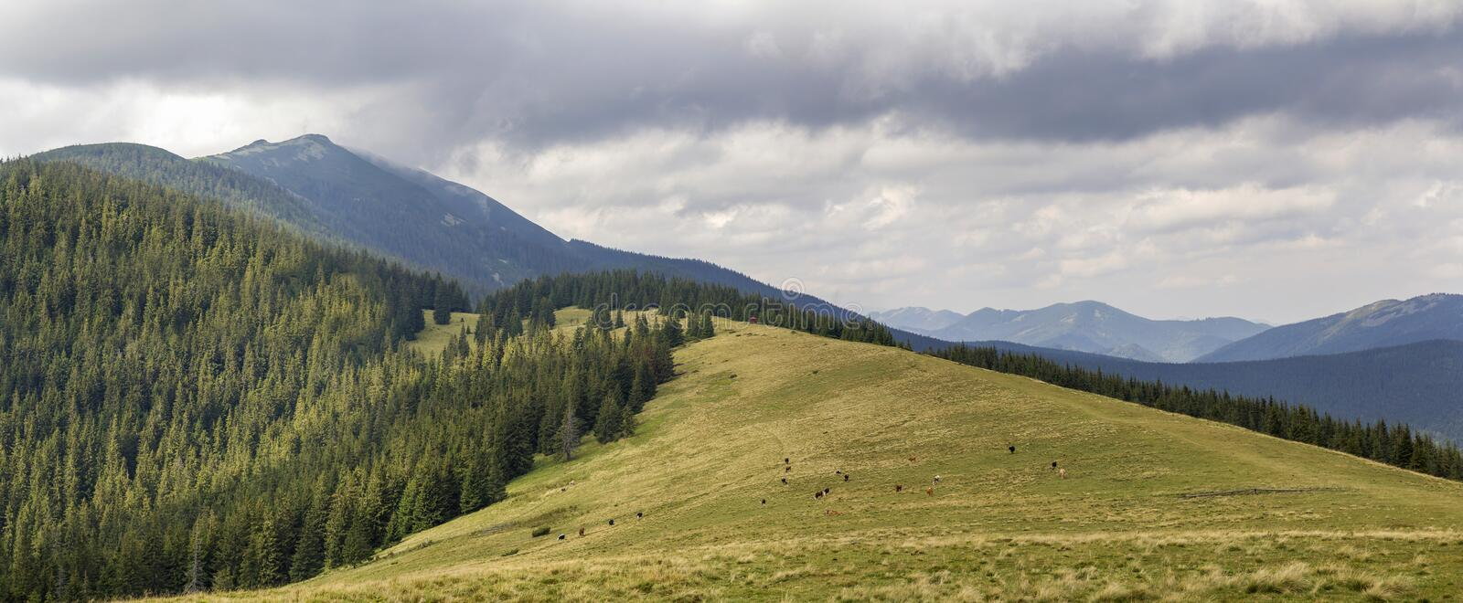 Green grassy meadow with grazing cows on background of woody mountain sunder blue sky. Beautiful summer landscape view mountains stock photo