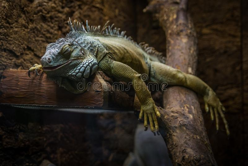 Green and Gray Bearded Dragon royalty free stock photography