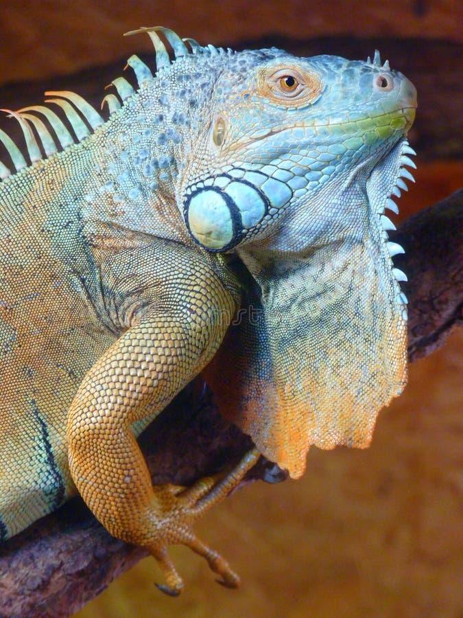 Green and Gray Lizard royalty free stock photos