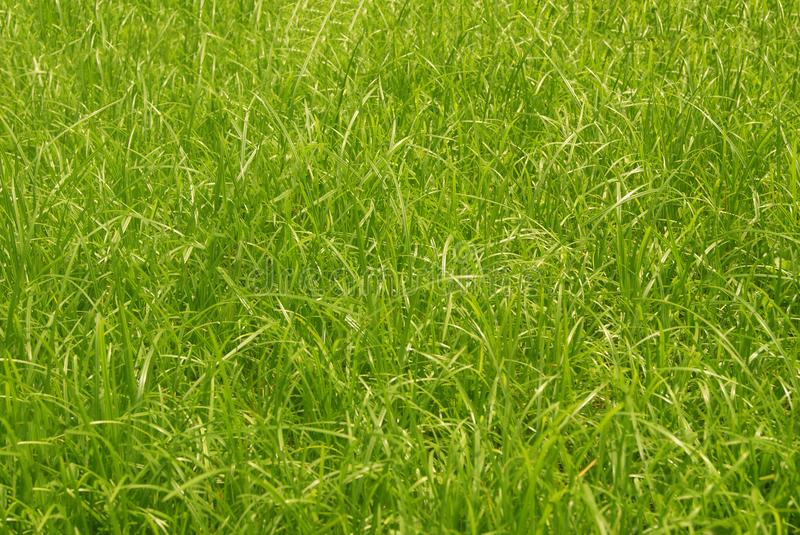 Green gress background. Cool green grass in the field stock images