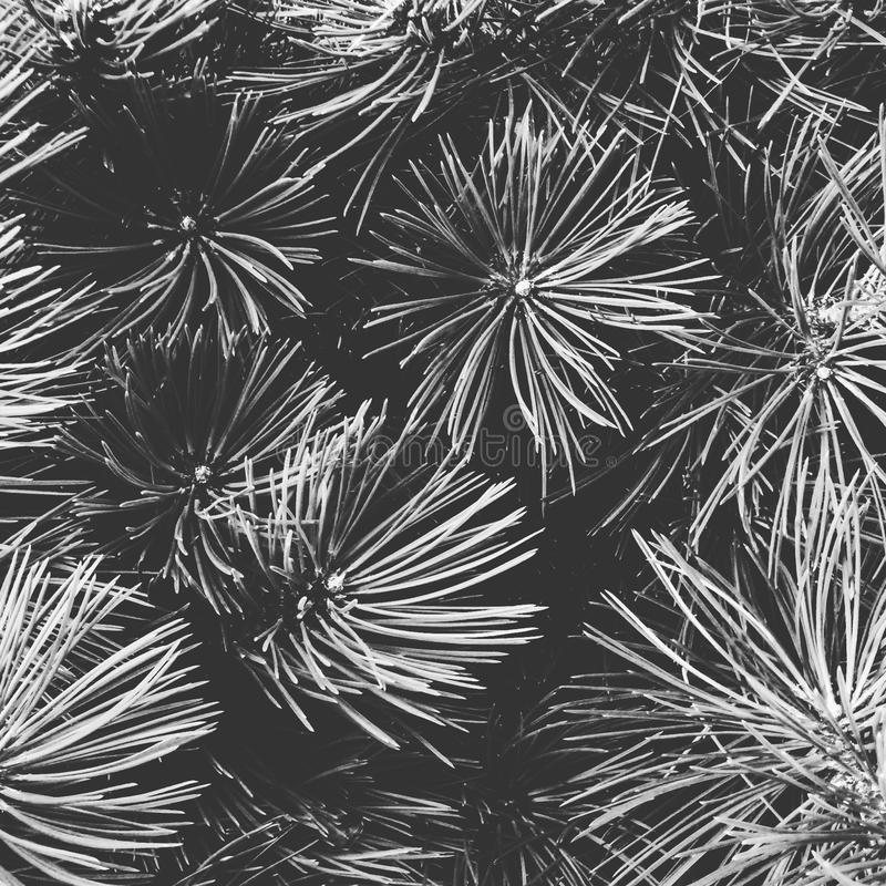Conifer forest details of a plsnt greyscale and white royalty free stock photo