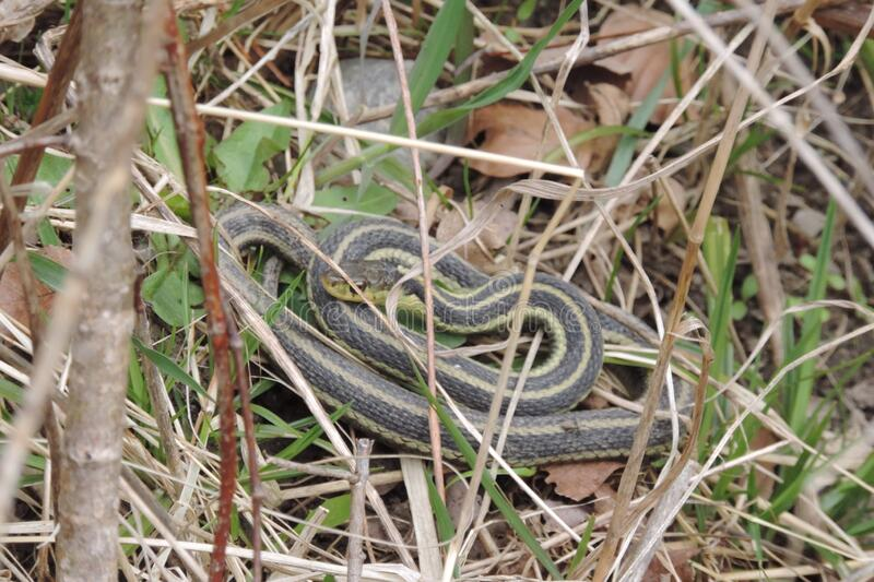 A green grey young snake stock images