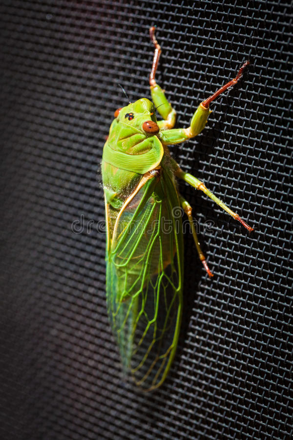 The Green Grocer Cicada on dark background royalty free stock image