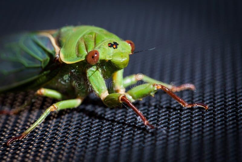 The Green Grocer Cicada on dark background stock photos