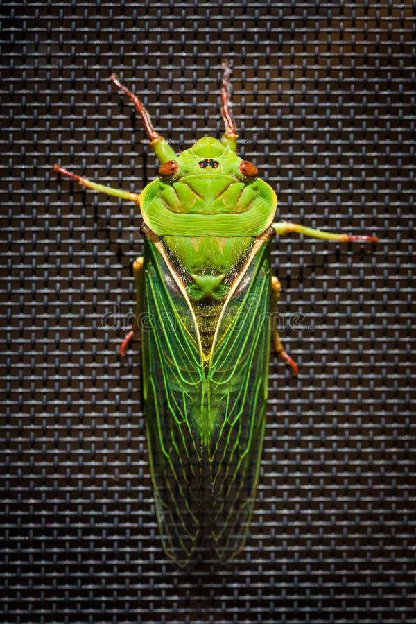 The Green Grocer Cicada on dark background stock image
