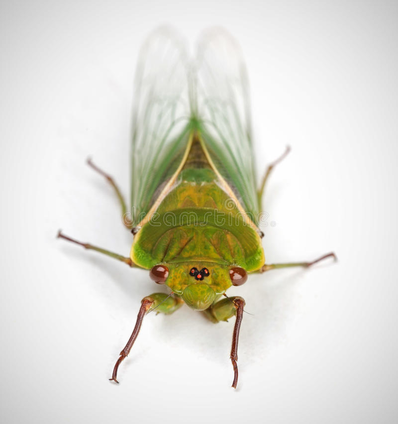 The Green Grocer Cicada isolated on white royalty free stock photography