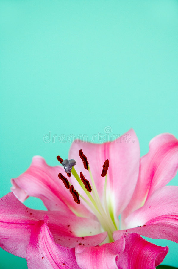 Green ground with pink lily royalty free stock photography