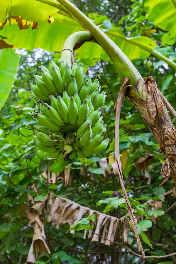 Green growing bunch of bananas on banana plantation stock image
