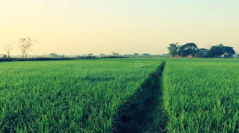Walking track at green paddy rice field, Vientiane, Laos. Green growing paddy rice at the rice field, Vientiane, Laos stock image