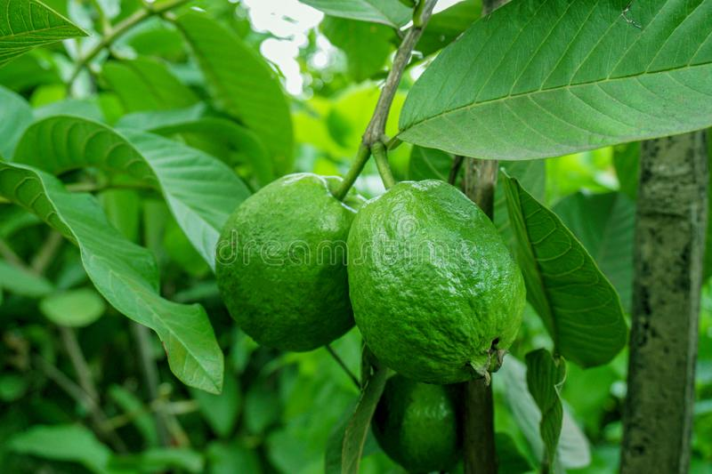 Green guava fruit hanging on tree in agriculture farm of Bangladesh in harvesting season.  royalty free stock images