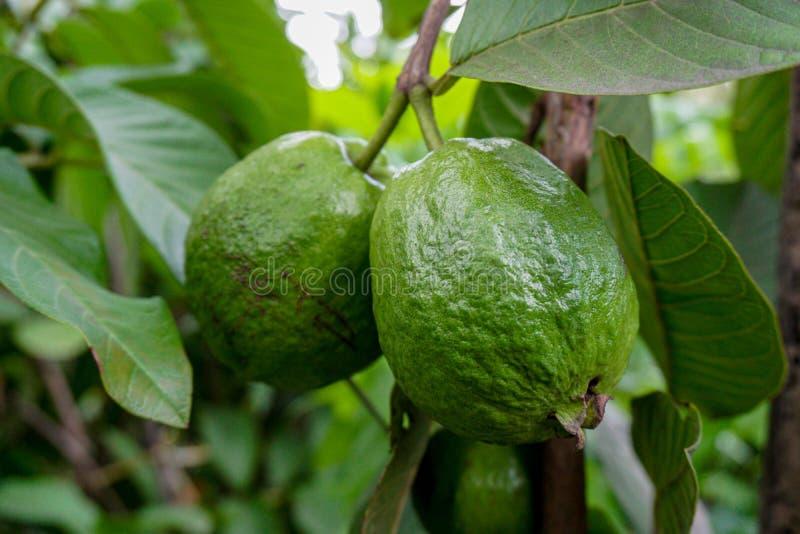 Green guava fruit hanging on tree in agriculture farm of Bangladesh in harvesting season. Psidium guajava.  stock image