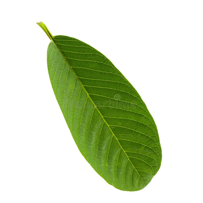 Green Guava leaf isolated over white background royalty free stock photography
