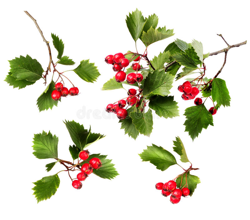 Green hawthorn branches red berries royalty free stock image