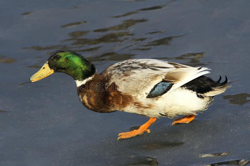 Green head duck royalty free stock images