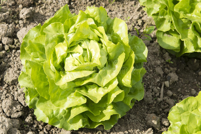Green head salad. On field royalty free stock photography