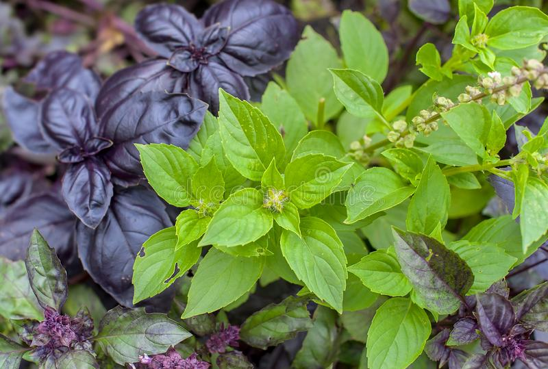 Green and healthy basil Ocimum basilicum seedling plant growing in organic   garden soil close up stock image