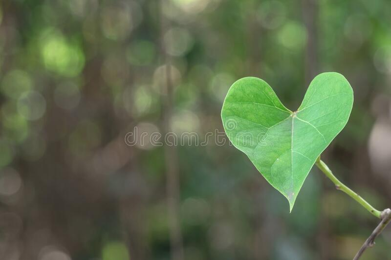 Green heart leaf in nature stock photo
