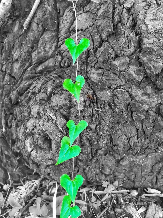 Green heart leafs stock photos