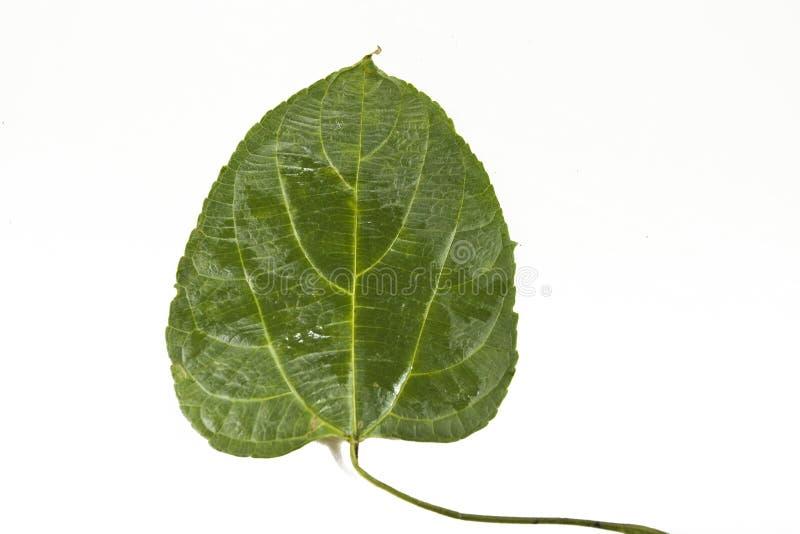 Sacha-Inchi Leaf Stock Photos