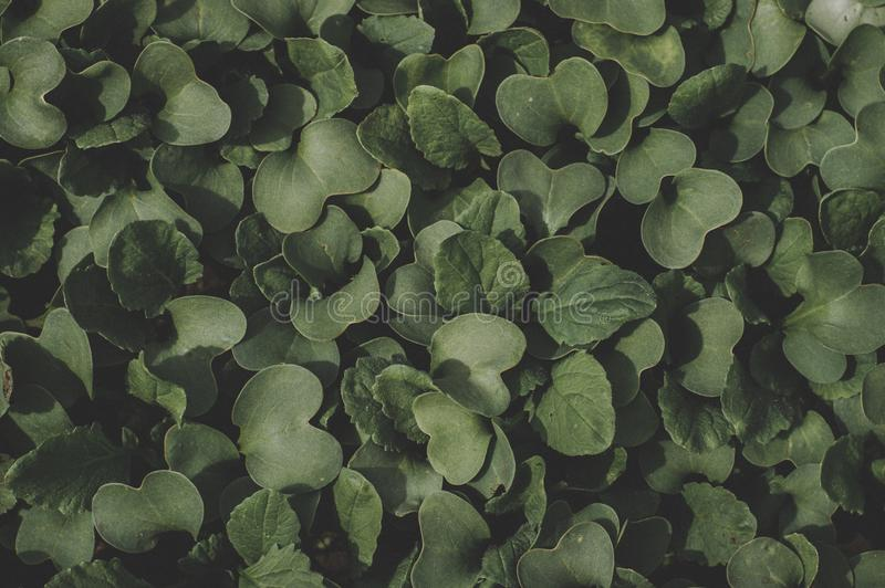 Green Heart-shape Leaf Plant royalty free stock images