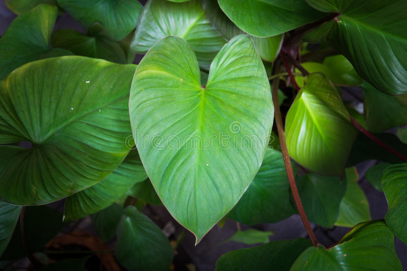 Green heart-shaped leaves. Green heart shaped leaves, close up royalty free stock image