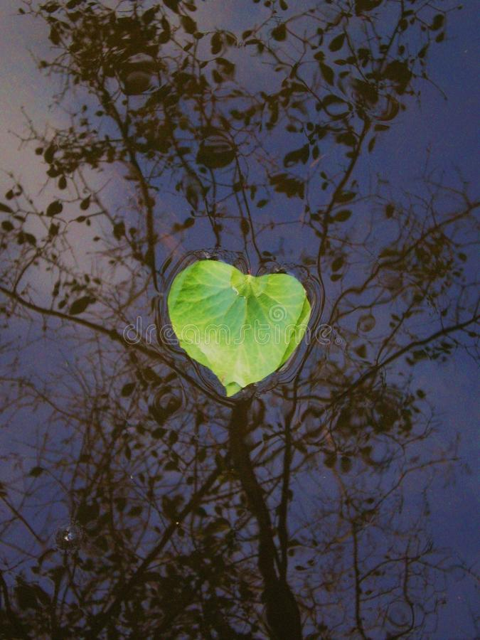 A green heart on the water. Green heart. An ivy leaf on the water with tree reflection royalty free stock photography