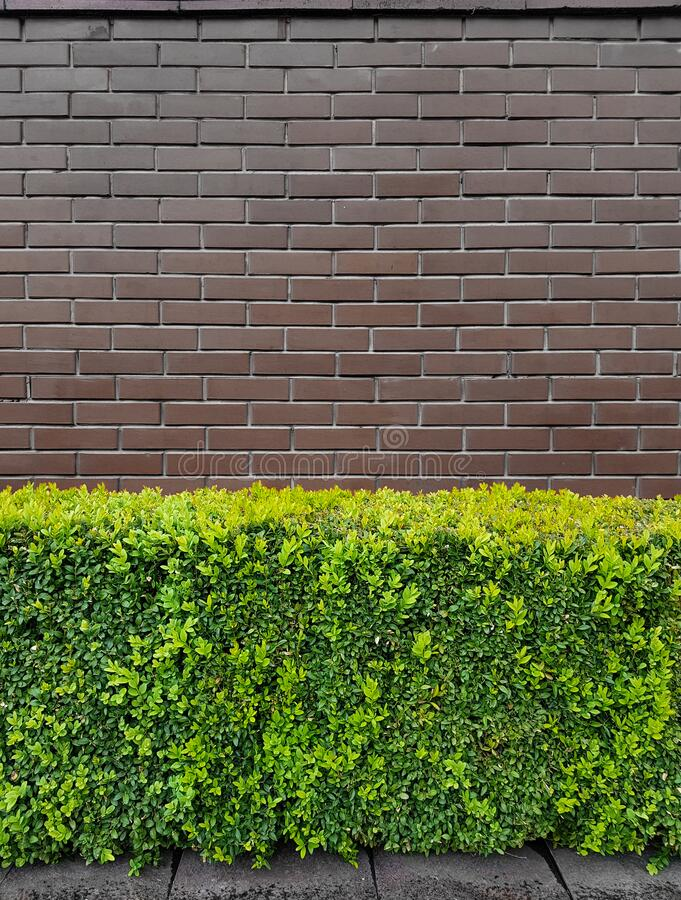 Green hedge against the background of an old brown brick fence or wall. Fragment stock images