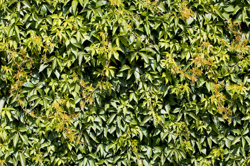 Download Green Hedge Backgrounds Or Wallpaper. Royalty Free Stock Photo - Image: 26004315