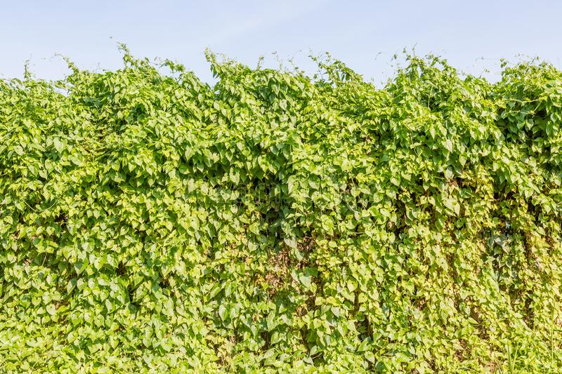 Green hedge bush fence on the background. royalty free stock photos