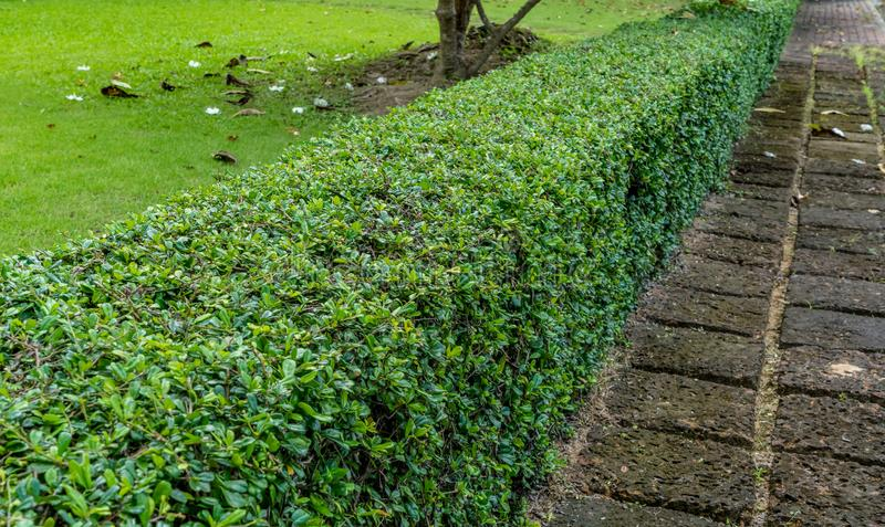Green hedge fence royalty free stock image