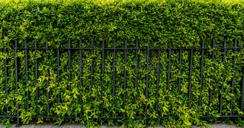 Green hedge fence royalty free stock photography